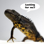 great crested newt, edna testing