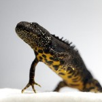 great crested newts edna
